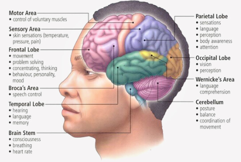 Name, function and location of various brain parts on an image of the brain.